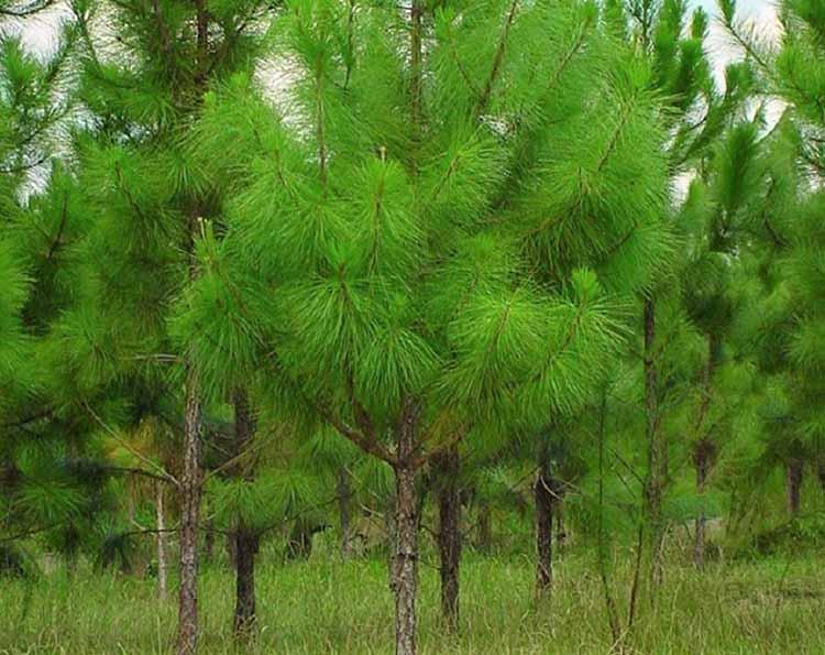 Loài cây thông